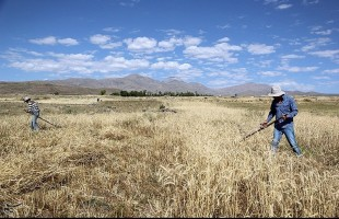 Wheat harvest in Ardabil