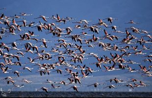 Migrating Flamingos in Fars