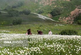 Chamomile Season in Northwestern Iran